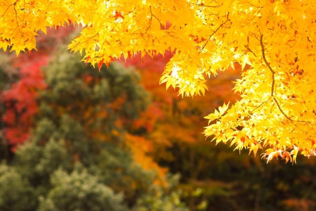 紅葉 黄色い紅葉