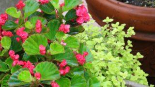 ベゴニアの花センパフローレンス