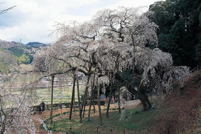 奥山田のしだれ桜昼