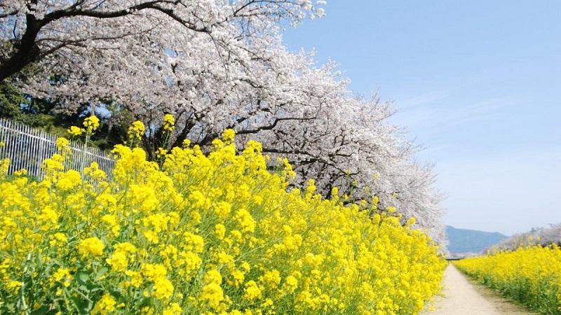 佐奈川桜と菜の花