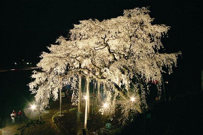 奥山田のしだれ桜ライトアップ