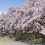 高遠城址公園桜