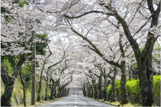 トップ伊豆高原桜祭り