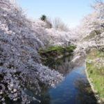 新境川の桜