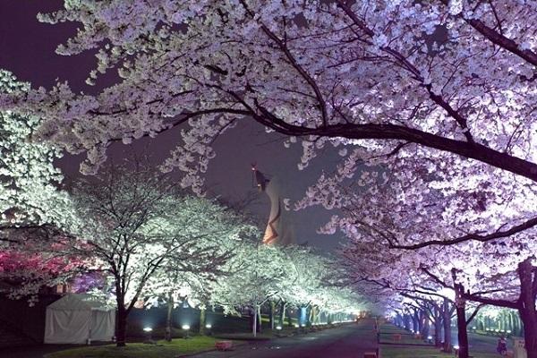 万博公園の桜夜桜