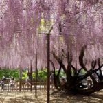 岡崎公園藤