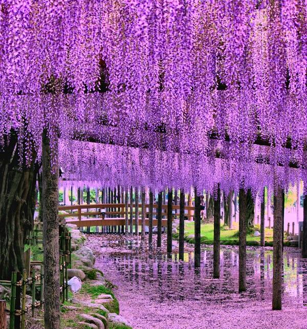 天王寺公園 藤の花