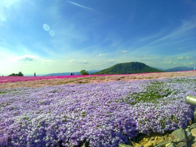 茶臼山高原芝桜2