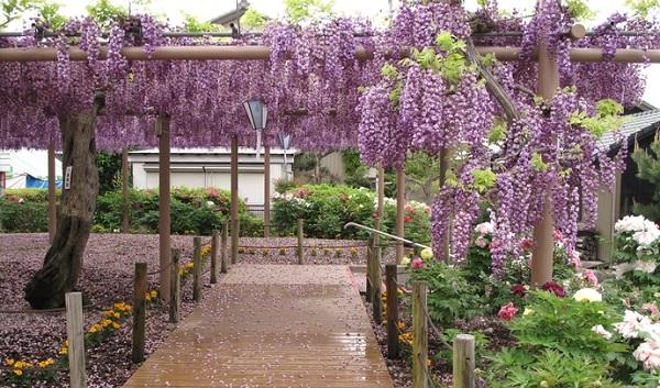 曼陀羅寺藤の花