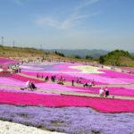 茶臼山芝桜